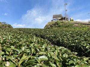 ひより茶畑1